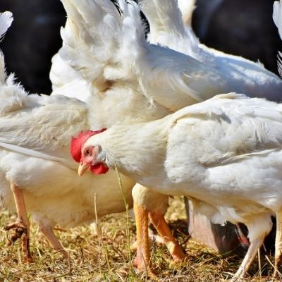broiler feeds in Pakistan
